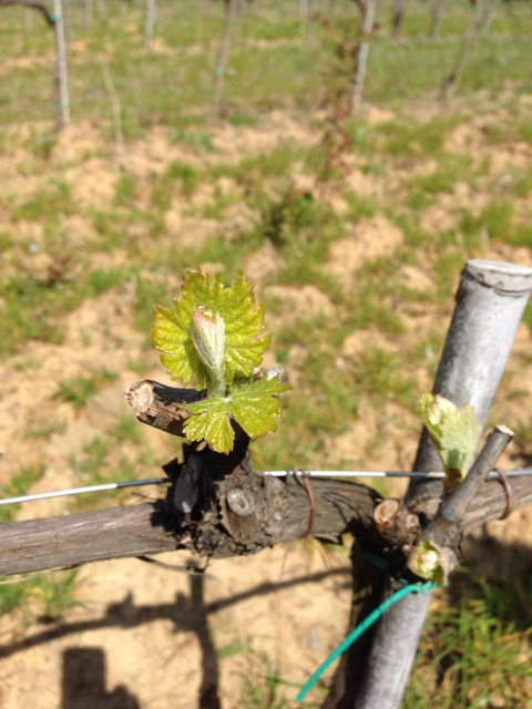 Grape Buds on Vine like butterflies